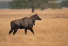 Blue Bull or Nilgai