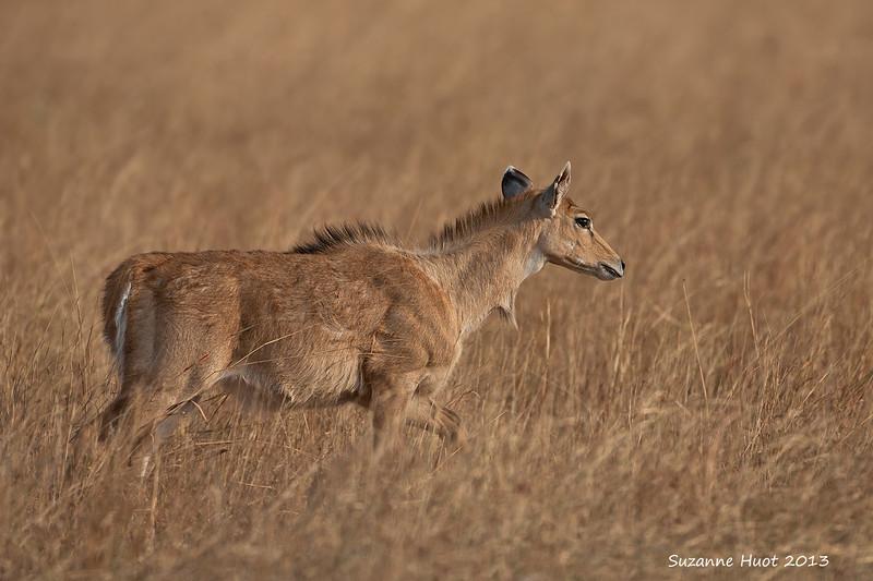 Blue Bull Female  in the grasslands