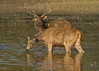 Sambar ,Male and Female.Sambar spend many hours grazing in and around  any waterhole they can find.
