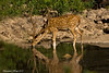 Spotted Deer Stag at the waters edge .