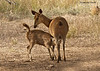 Sambar doe nursing fawn.