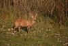 Hog Deer Stag, Kasiranga National park.Assam State.
