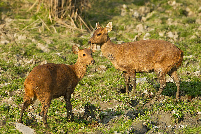 Hog Deer Doe and Fawn .