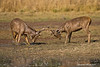 Two Sambar Bucks came out of the lake and decided to test each other out .