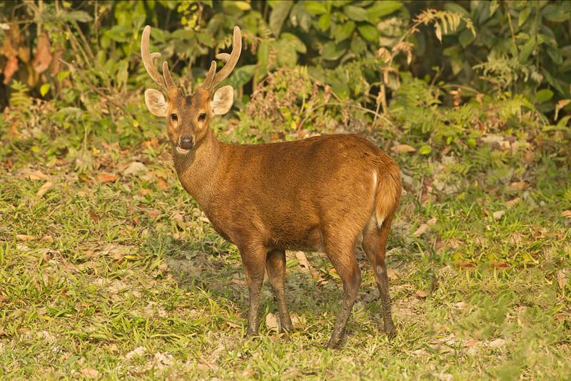Hog Deer Stag in velvet.