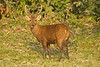 Hog Deer Stag in velvet.