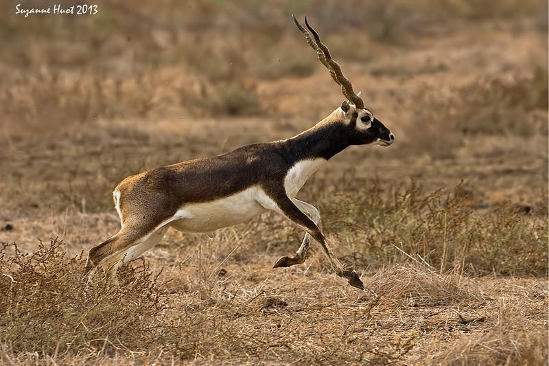 Blackbuck on the run.