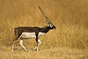 Blackbuck .A small antelope from the Indian subcontinent and now a threatened species due partly to loss of habitat.