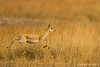 Female Blackbuck .