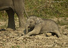 Elephant calf at rest
