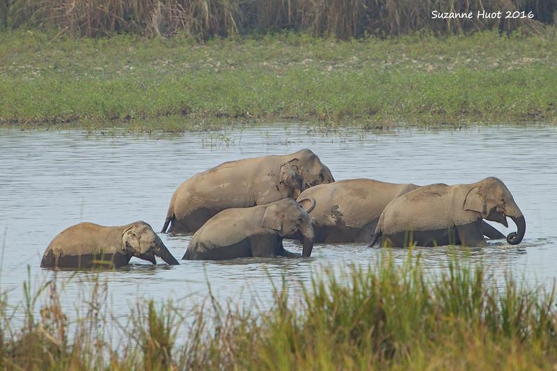 Elephants bathing ..  Assam