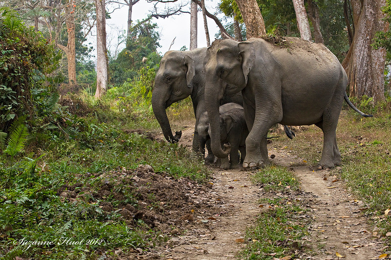 Cow Elephants with calves.