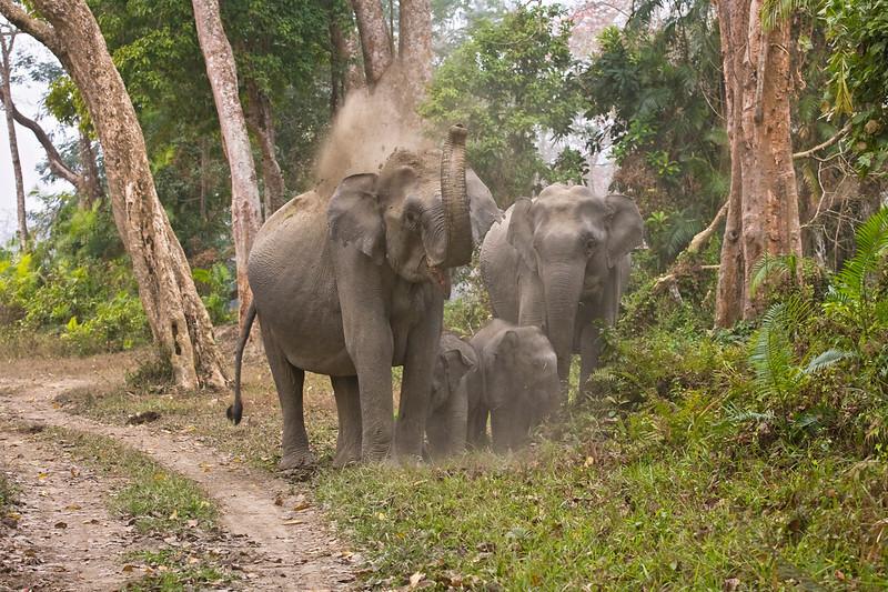 Wild Asian Elephant's with calves enjoying a dust bath.