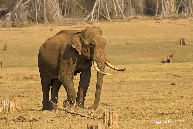 Tusker from the forest's of South India.