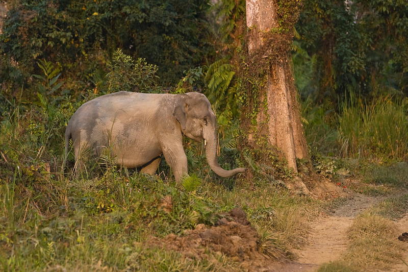 Tusker Elephant emerging from the forest .