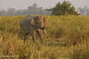 Tusker amongst the Elephant grass in evening light, Male Elephants have a gland behind the eyes ,known as temporal ducts, which when the mature  Elephant comes into Musth a time of excessive testosterone. levels ,he will then  become sexually aggressive and  it is at this  time the male elephant  will  seek out be ready to breed with the females.. A  time when the male Elephant can become quite dangerous...<br /> The Elephant in this image  in musth and is showing aggressive behaviour ..