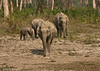 Elephant family coming out of the forest to drink a small stream.