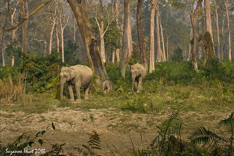 Forest scene from Assam North East India. ,Mother & ,Auntie with very young Elephant Calf.