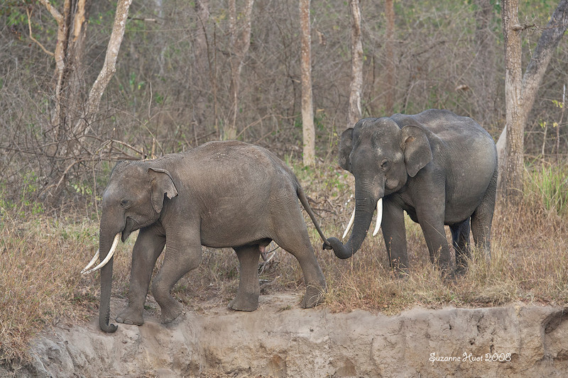 Elephants really do hold onto each other's tails.Young male Tusker is being held onto by older Adult male Elephant.