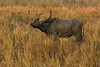 Asiatic buffalo having had his daily mud bath is now standing in the tall Elephant grass.