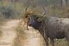 Asiatic Buffalo.