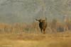 Buffalo at Sunrise.