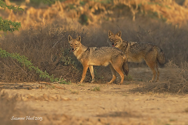 Pair of Jackals at dusk.