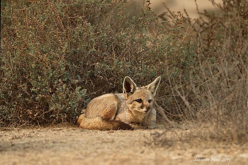 Indian Fox .