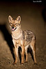 Golden Jackal in the spotlight.
