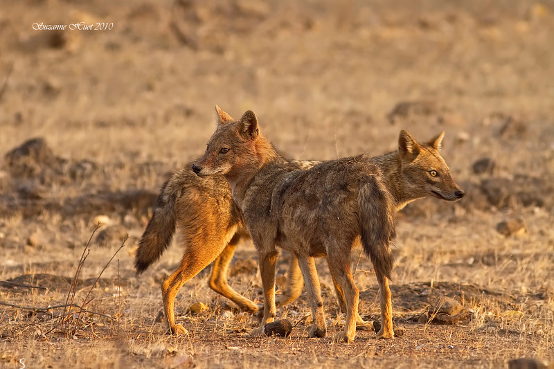 Pair of Indian Jackels courting .