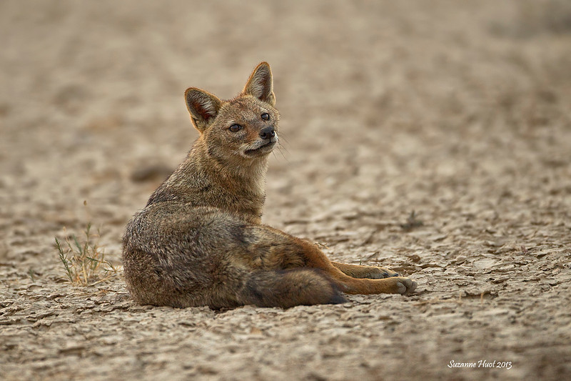 Female Jackal.