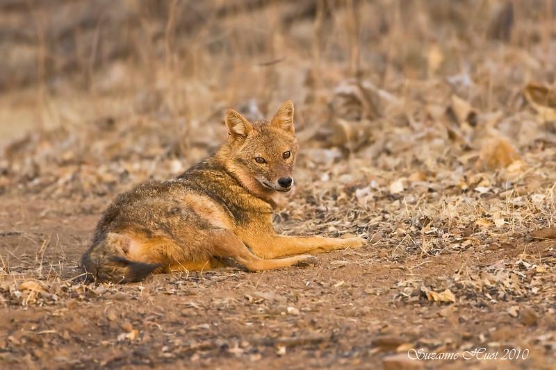 Indian Jackel taking a rest break.