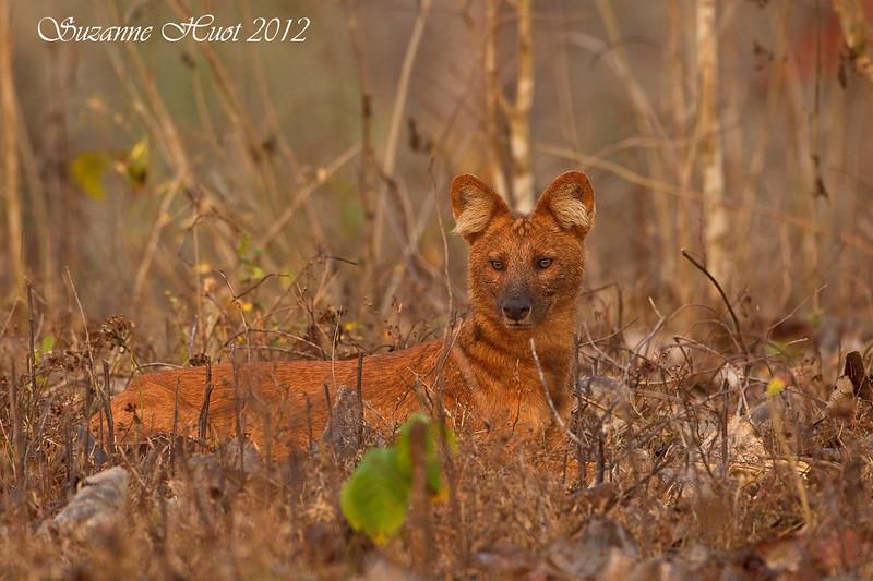 Dhole or Indian wild dog .