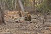 Asiatic Lion at rest.