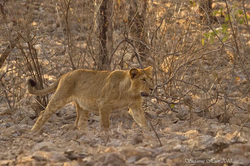 Lion cub .