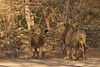 The two male Lions peering up at the caged Leopard .