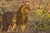 Asian/Indian Lion .