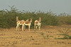 The remaining Indian Wild Ass are found almost exclusively in The little Rann of Kutch in Gujarat State ,North west India..