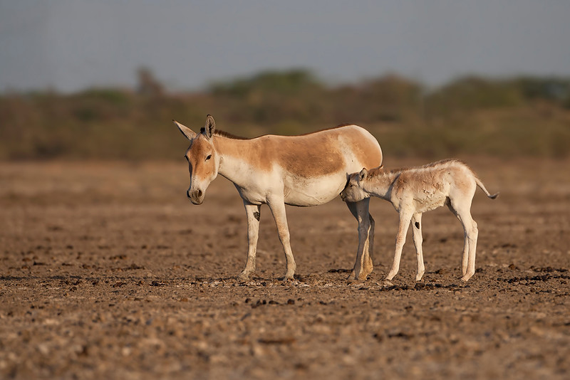 Indian wild ass with foal