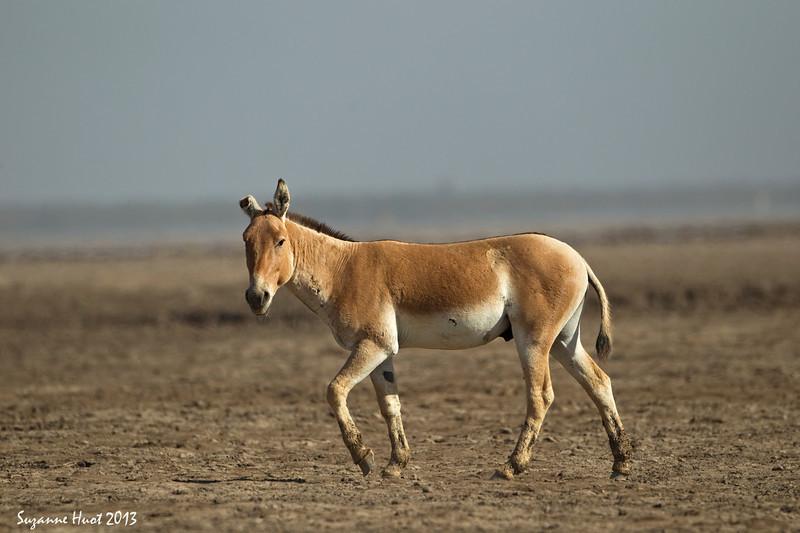 Indian Wild Ass stallion .slightly battle worn.