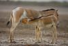 young foal nursing . .