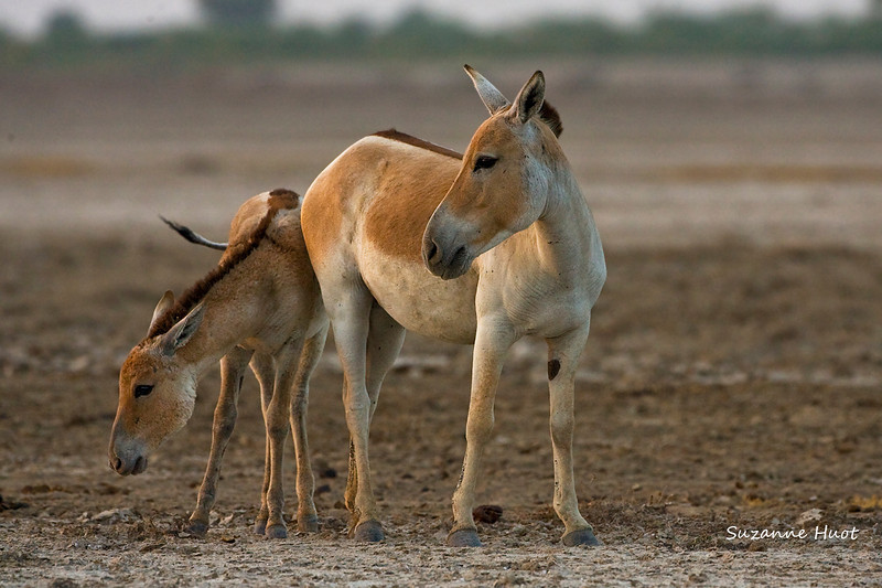 Rare Indian Wild Ass with foal.  The Wild ass is now only found in one area of India .They inhabit an area of  Salty desert mud flats and scrub in the Little Rann of Kutch in Gujarat State.in the North west corner of India.. They are now only around 4000T left living in the wild. .In times past  they  could be found in the wilds of both  Afghanistan and Pakistan .Sadly  they are now  extinct in both countries ...