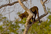 Young leopard tree climbing.