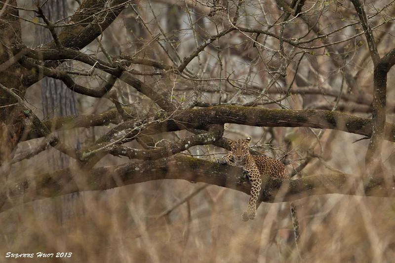 Kabini Leopard at rest.