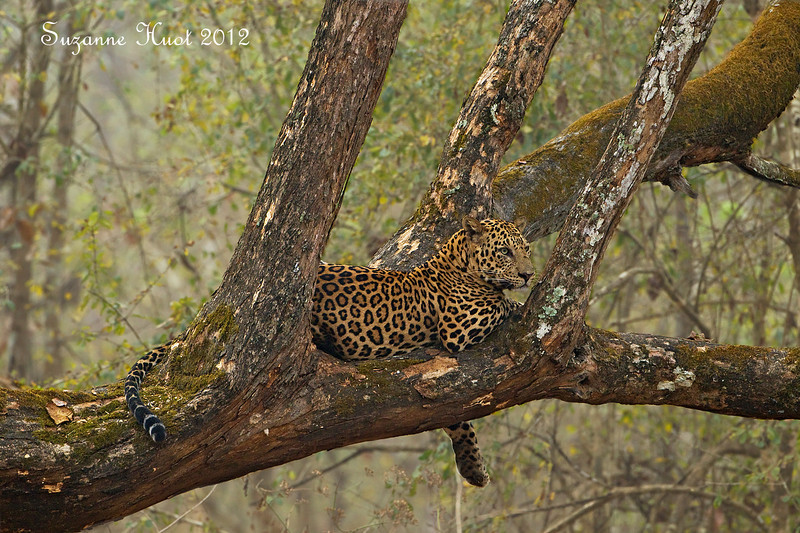 Leopard at rest.