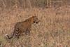 Indian Leopard .