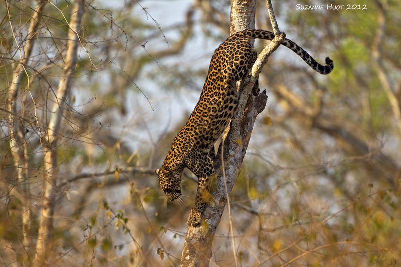 Young Leopard descending tree.