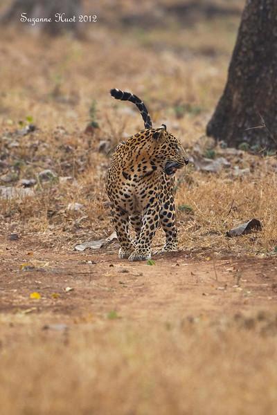 Leopard on the alert .