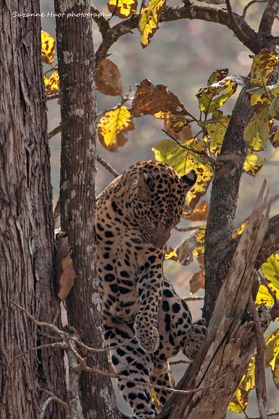 Leopard descending.  Kabini