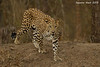 Indian Leopard.